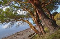 MADRONA TREES ON ORCAS ISLAND AT CRESCENT BEACH