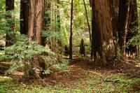 Muir Woods - Redwood forest