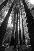 Muir woods - Cathedral Grove (B/W)