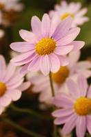 A Standout Pink Marguerite Daisy, Verical_0981