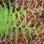 """Ferns Art Prints Forest Green Fern Branches"" by BasleeTroutman"