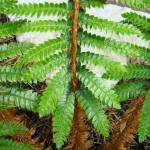 """Forest Ferns Branches Leaves Art Prints Fern"" by BasleeTroutman"