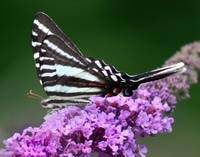 Zebra Swallowtail Butterfly on Lavender Flowers