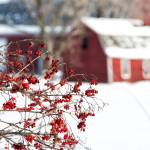 """Red Berries and Red Barns"" by sterk"