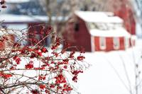 Red Berries and Red Barns