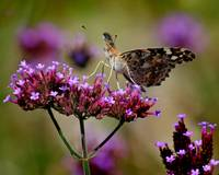 American Painted Lady Butterfly on Verbena