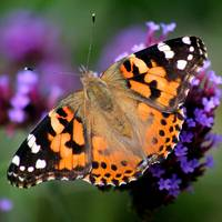 Square American Painted Lady Butterfly