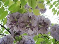 Wisteria On High