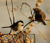 Finch and Chickadee, Bird Photography
