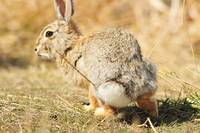 Cotton Tail, rabbit photograph.