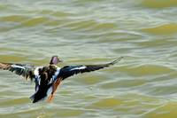 Duck Flying over Water, photograph