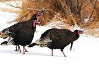 Wild Turkeys, animal photography.