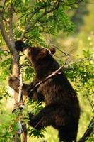 Tree Climber, Bear photograph