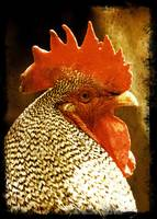 The Wise Old Rooster