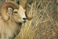 Big Horn Ram, wildlife photograph.
