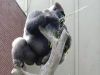 Gorilla in Tree