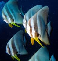 Many Batfish, and Divers