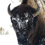"""Bison.Yellowstone.head hump_MG_1950"" by SamSherman"