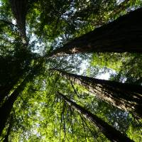 muir_woods_canopy Art Prints & Posters by Guy Benson
