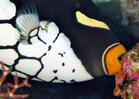 Clown Triggerfish Eating
