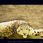 """Adult Male Snow Leopard"" by frankreggio"