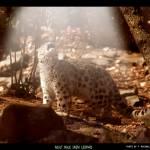 """Adult Snow Leopard"" by frankreggio"