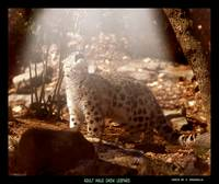 Adult Snow Leopard