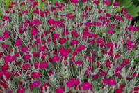 Hot Pink Dianthus