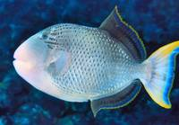 Maldives Triggerfish