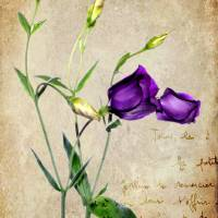 Vintage - Lisianthus Art Prints & Posters by Karen Webster