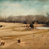 Sheep in the Meadow Art Prints & Posters by Jai Johnson