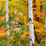 """White Birch Trees in Autumn"" by sterk"