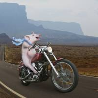 Hog-On-A-Hog Art Prints & Posters by john lund