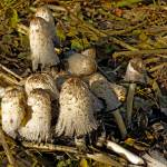 """Shaggy Ink Caps - (Coprinus comatus) (39633-RDA)"" by rodjohnson"