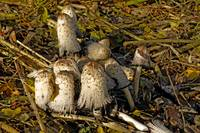 Shaggy Ink Caps - (Coprinus comatus) (39633-RDA)