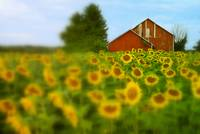 7213-1 sunflower field
