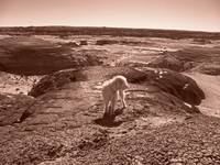 Dog in the Bisti Badlands