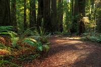 A Path In The Redwoods