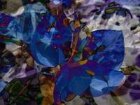 Bougainvillea Abstractions, Edit B