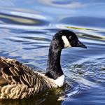 """""""Goose"""" by URSPIX"""