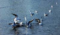 Seagulls on a pond
