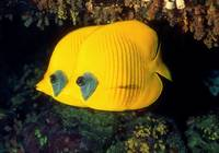 A Pair of Yellow Disk Fish