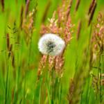 """""""Field of Dandelions"""" by TaraEllisPhotography"""