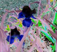 Black and Blue Iris Solarized