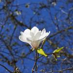 """Magnolia Flower Blossom Art Spring Tree"" by BasleeTroutman"