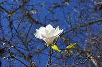 Magnolia Flower Blossom Art Spring Tree