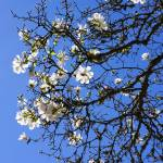 """Spring White Magnolia Flowers Tree Blue Sky"" by BasleeTroutman"