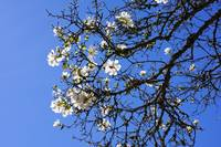 Spring White Magnolia Flowers Tree Blue Sky