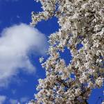 """Spring Blue Sky White Cloud Magnolias Flowers"" by BasleeTroutman"