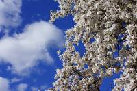 Spring Blue Sky White Cloud Magnolias Flowers